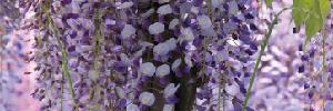 藤の花についてのイメージ